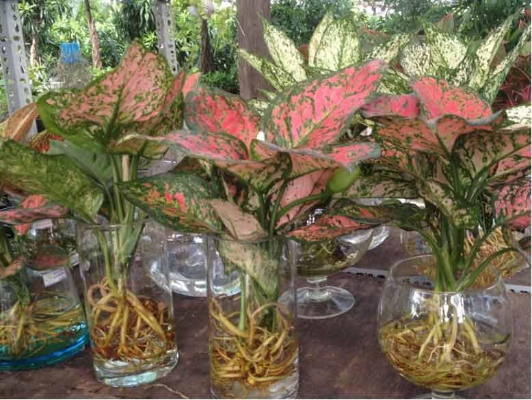 Cây phú quý được trồng trong môi trường nước