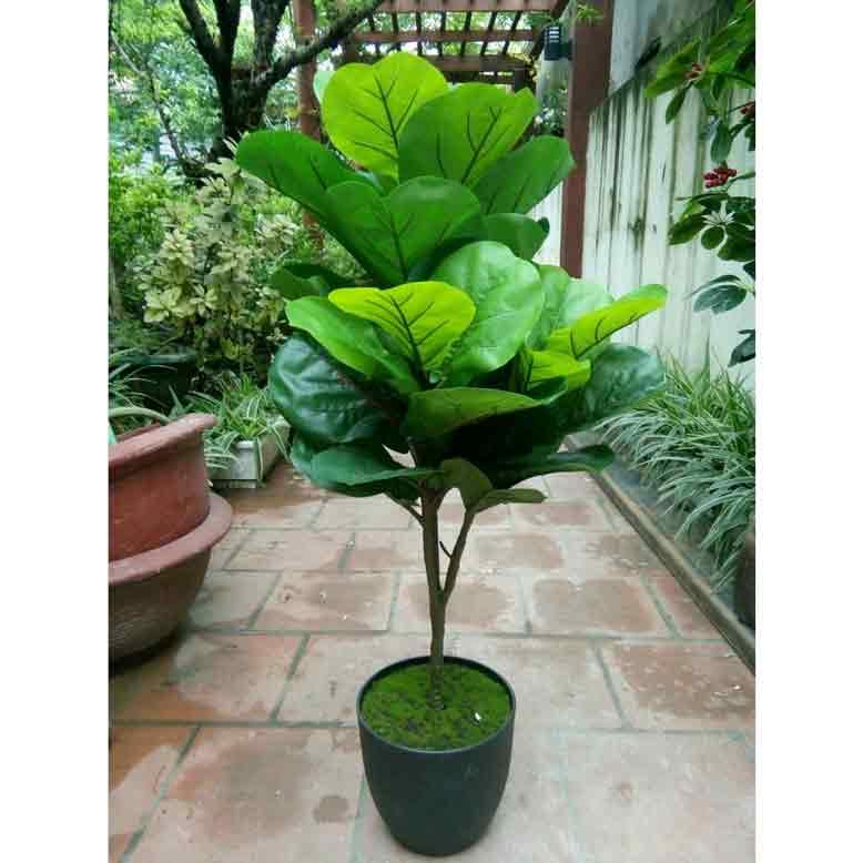 Nên chọn cây bàng Singapore để đem lại nhiều may mắn